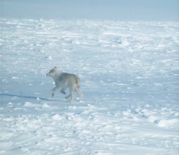 Ice Road Driving Photos. A wolf crosses the ice road.